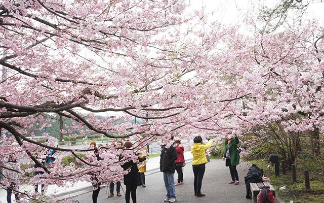 sakura mevsimi tokyo