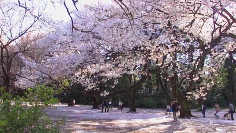 japonyada sakura zamanı
