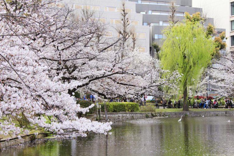 sakura zamanı tokyo japonya